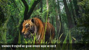 बाघस्थान बनता राजस्थान: 100 से ज्यादा बाघ हुये, चौथे रामगढ़ टाइगर रिजर्व को भी मिली मंजूरी